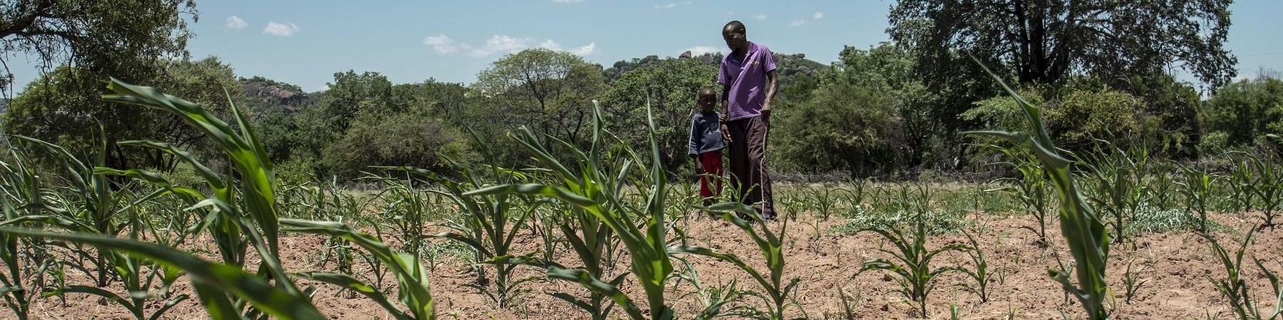campo agricolo con piante in primo piano e sullo sfondo un uomo adulto e un bambino stanno in piedi vicini e guardano il campo